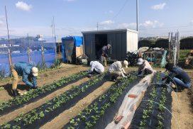 イチゴにぼかし肥の施肥